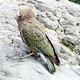 Kea mountain Parrot