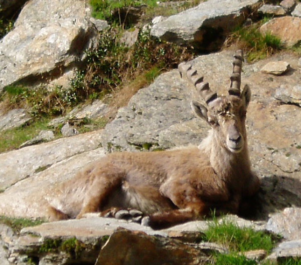 Ibex Switzerland